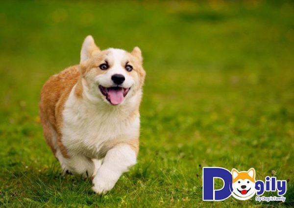 Địa chỉ bán chó Corgi thuần chủng uy tín