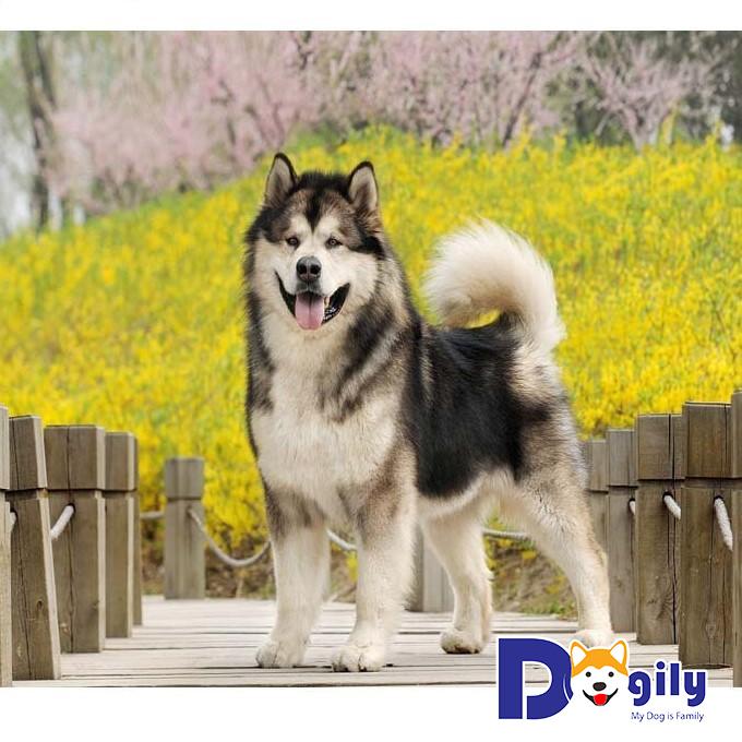 Địa chỉ phối giống chó Alaska tại TPHCM – Dogily.vn