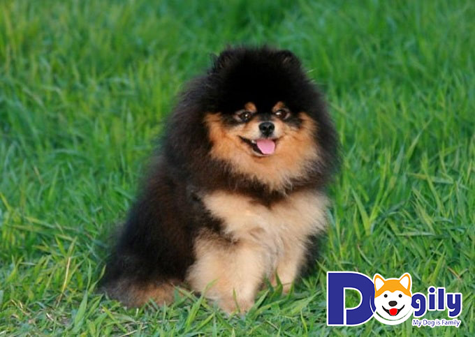 Hiện tượng chuyển đổi lông ở các bé chó Phốc Sóc Pomeranian
