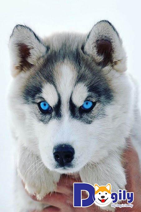 Hình ảnh chó Husky con có đôi mắt xanh