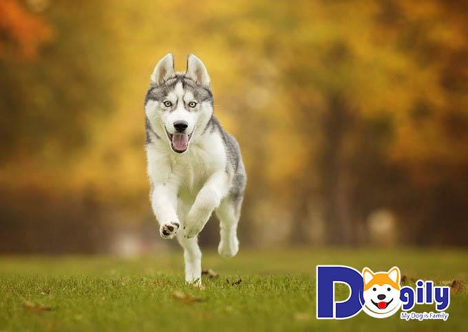 Hình ảnh chó Husky đẹp