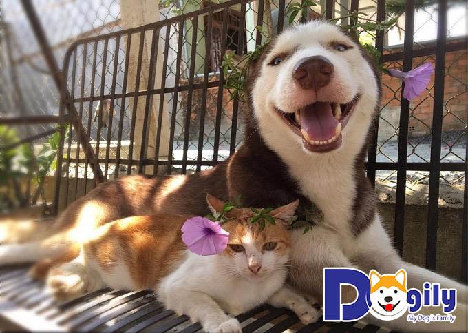 Hình ảnh chó Husky hài hước - hình ảnh chó mèo dễ thương