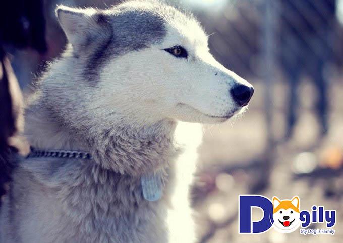 Hình ảnh chó Husky – Những chú chó đáng yêu nhất quả đất