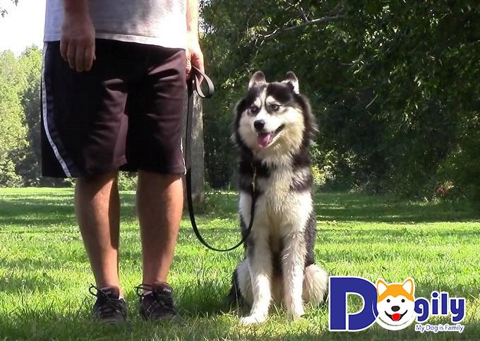 Huấn luyện chó Husky ngồi theo đúng hiệu Lệnh