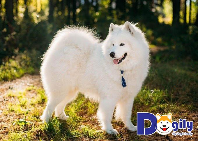 Huấn luyện chó Samoyed đi vệ sinh