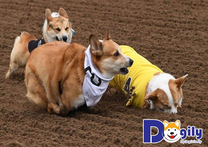 Huấn luyện cho chó Corgi