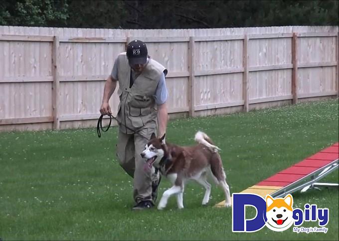 Huấn luyện thể lực cho chó Husky