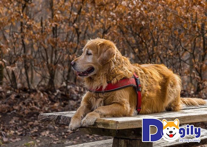 Kiến thức cần biết khi chăm sóc & nuôi chó Golden