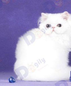 mèo ba tư trắng