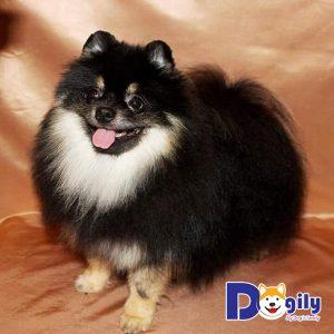 Màu lông đa sắc ở chó Pomeranian