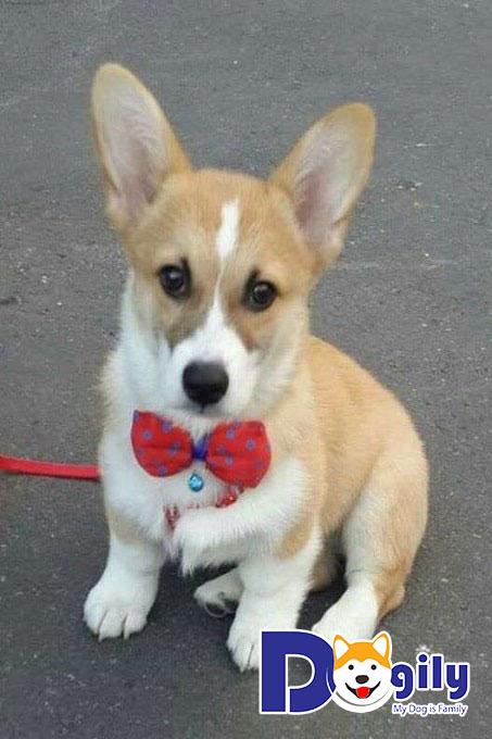 Một số lý do Dogily khuyên bạn không nên mua chó Corgi Trung Quốc