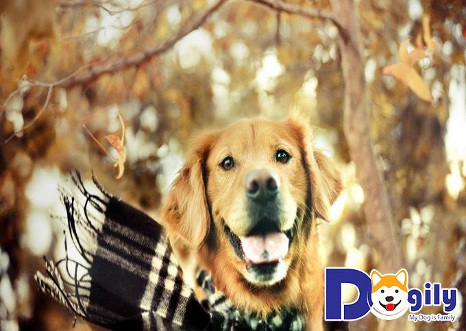 Mua bán chó Golden thuần chủng tại Dogily.vn