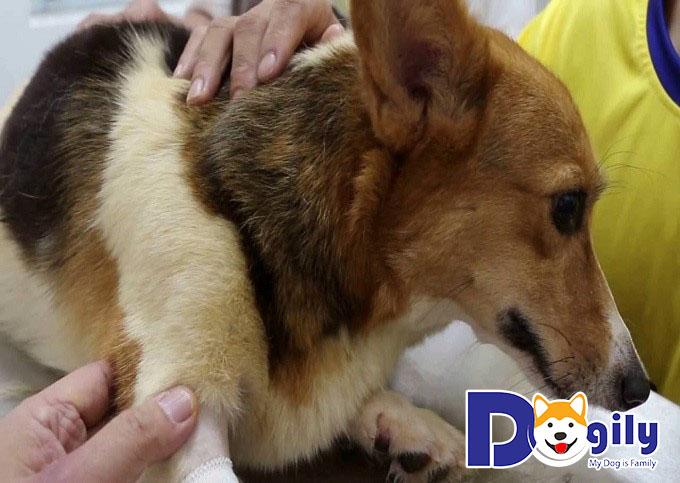 Nên chăm sóc chó Corgi mẹ và các bé Corgi con như thế nào sau sinh?