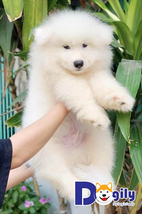 Nguồn gốc chú chó Samoyed