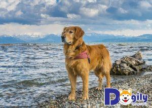 Nguồn gốc lịch sử của giống chó Golden Retriever là gì?