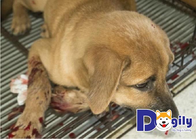 Nguyên nhân chó bị chảy máu mũi