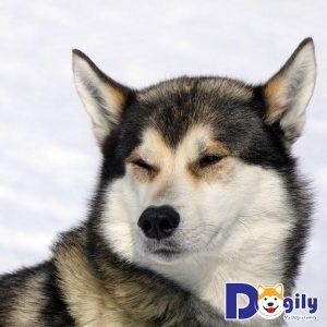 Nguyên tắc cần nhớ khi huấn luyện chó Husky