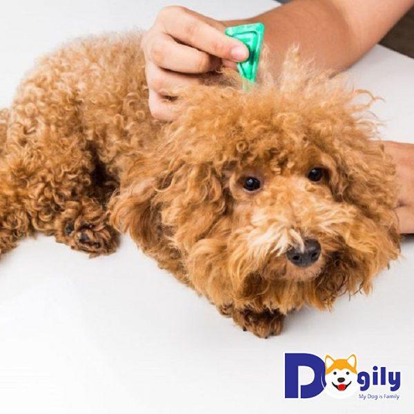 Nhỏ thuốc sau gáy dọc theo sống lưng của bé cún