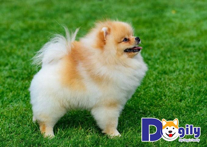 Phân loại màu sắc chó Phốc sóc Pomeranian