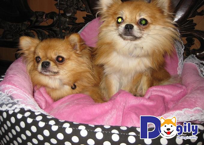 Phốc Sóc lai Chihuahua