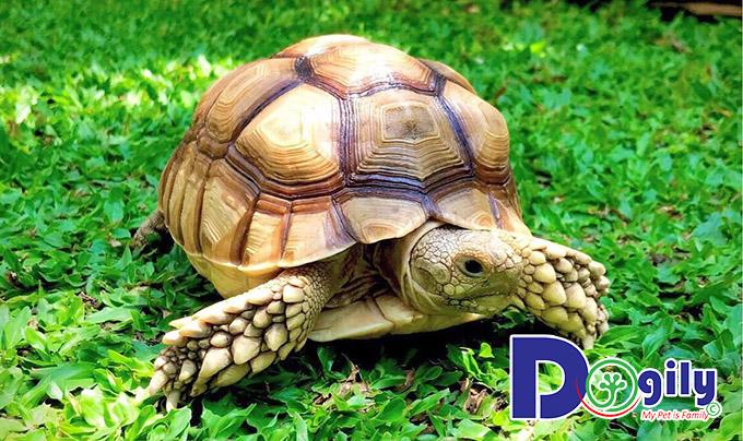 Rùa Sulcata Tortoise