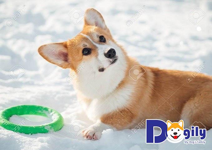 Mua chó Corgi thuần chủng cần chú ý điều gì bạn có biết?