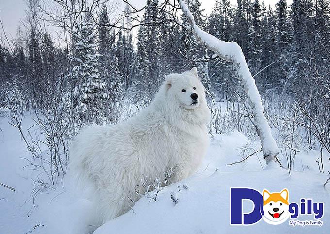 Trông em Samoyed này như một chú sư tử nhỏ màu trắng cao ngạo trong bầu trời đầy tuyết