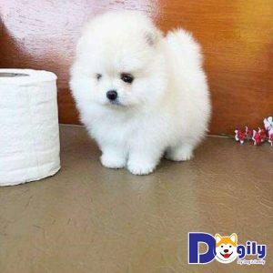 Tuổi thọ chó Teacup Phốc sóc