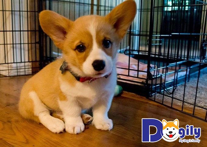 Vì sao người Việt Nam không muốn mua chó Corgi từ Trung Quốc?