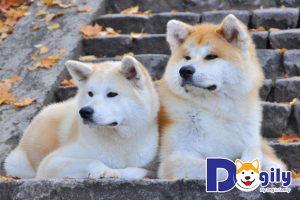 Những thông tin về chó Akita