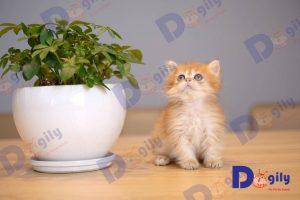 Bán mèo Anh lông ngắn giá tốt tại Dogily Petshop tpchm và Hà nội.