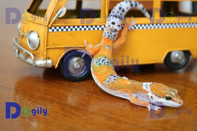 Thằn lằn da báo bị bệnh đuôi que. Đuôi nhỏ như đầu đũa chứ không đẹp như bé Leopard Gecko nhà Dogily.