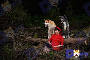 Chó Akita Inu - Mua bán chó Akita inu giá tốt tại Dogily Petshop Hà Nội, Tpchm
