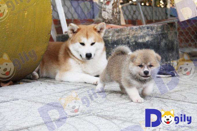Chó Akita Inu màu vàng trắng (red) lúc nhỏ có lông tơ màu đen. Đến khi thay lông từ 3 - 5 tháng tuổi mới chuyển sang màu vàng.
