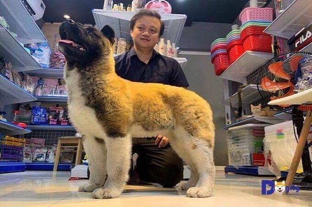 Một bé Amrerican Akita nhập khẩu châu Âu tại cửa hàng Dogily Petshop Phú Nhuận.