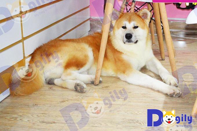Simba, chú chó Akita thế hệ F1 sinh tại Việt Nam ở Dogily Petshop Tây Hồ. Với vẻ đẹp không hề thua kém chó nhập ngoại.