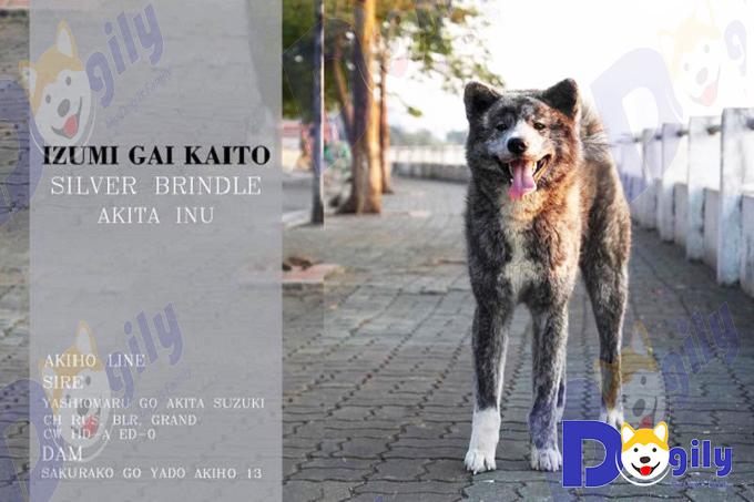 Nhà vô địch Việt Nam, chú chó Akita Inu màu vện bạc của gia đình Dogily - Izumi Gai Kaito.