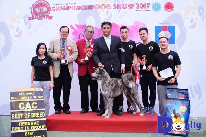 Chú chó Akita vện bạc Izumi Gai Kaito, Vietnam Junior Champion (VKA), bố là Suzuki, vô địch châu Âu, phả hệ AKIHO được Dogily nhập khẩu về Việt Nam năm 2017.