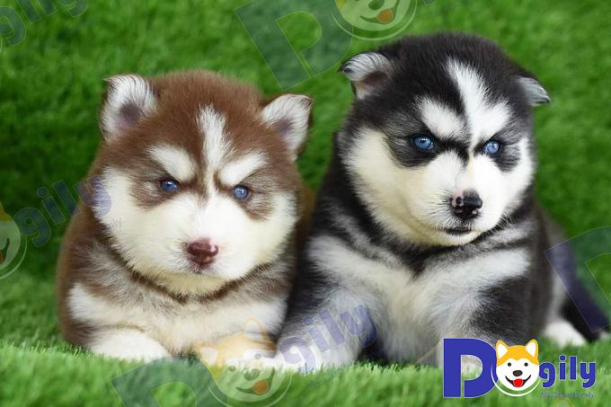 Hai bé Husky con với đôi mắt màu xanh dương tuyệt đẹp được bán tại hệ thống Dogily.
