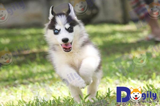 Chó Husky luôn tăng động và dư thừa năng lượng.