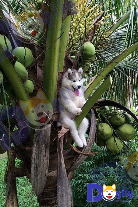 Tấm hình chú chó Husky trèo lên cây dừa rồi mắc kẹt với khuôn mặt hớn hở gây bão cộng đồng mạng. Bị các thánh photoshop chế ảnh hài hước tơi bời