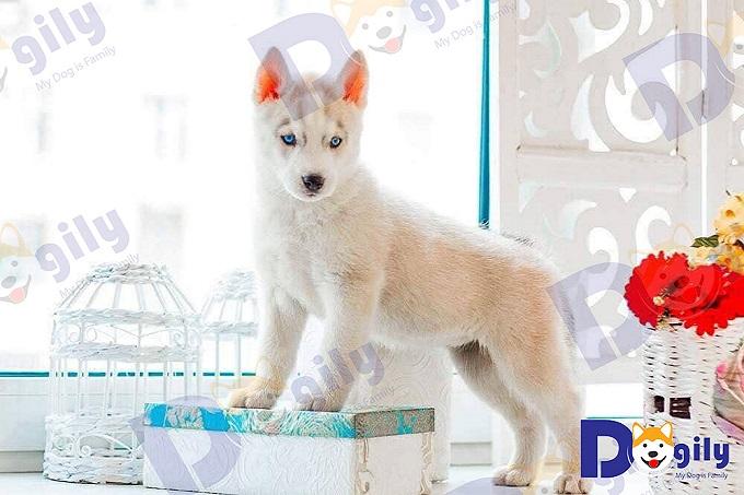 Ảnh bé Husky màu hồng phấn cực hiếm nhập khẩu từ vùng Siberia, Nga.