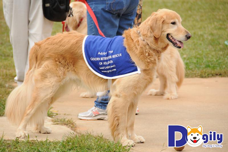 Chó Golden làm nhân viên cứu hộ