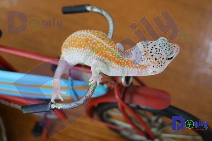 Điều kiện sống tự nhiên của Leopard Gecko thường trong môi trường rất khắc nghiệt và bấp bênh.