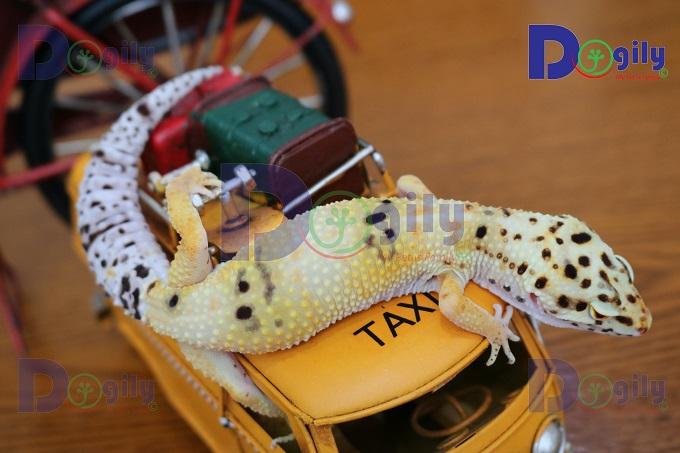 Giá thằn lằn da báo Leopard Gecko phụ thuộc rất nhiều vào màu sắc, độ đẹp, độc, lạ, hiếm của từng em.