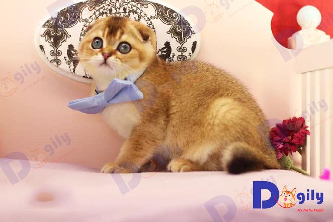 Tuyệt phẩm mèo Scottish Golden bố mẹ nhập Nga nhà Dogily.