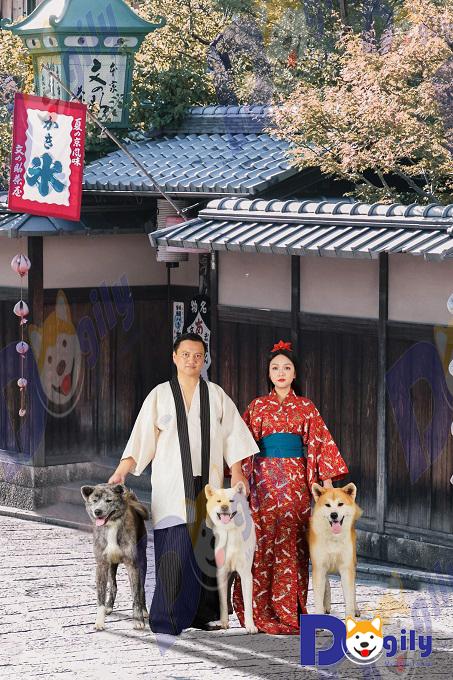 Dogily may mắn sở hữu bộ ba Akita Inu đủ màu lông, đẳng cấp. Hình trên bên trái: Izumi Gai Kaito (màu vện-brindle), Shinichi (màu trắng) và Simba (màu vàng trắng).