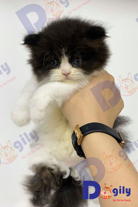 Một bé mèo Anh lông dài ald tai cụp màu bicolor cực lạ và hiếm nhập Thái Lan của Dogily Petshop.