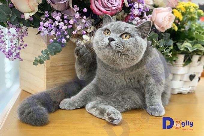 Mèo Anh lông ngắn (ALN)