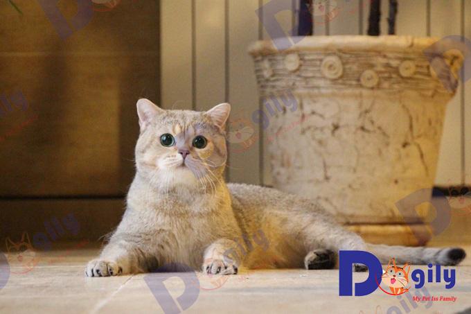 Mèo Anh lông ngắn màu Golden đực giống nhập Ba Lan của trang trại Dogily.